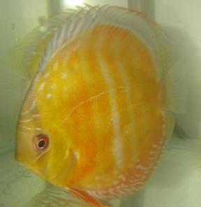 Клублюбителейдискусов:ОранжевыйдискусБараМанса(Bara Mansa Orange)