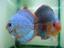 Дискусы продажа (дискусы купить) : Royal Turquoise