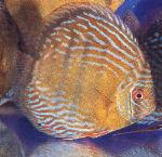 Клублюбителейдискусов:КоролевскийдискусМанакапуру (Manacapuru Royal Blue)