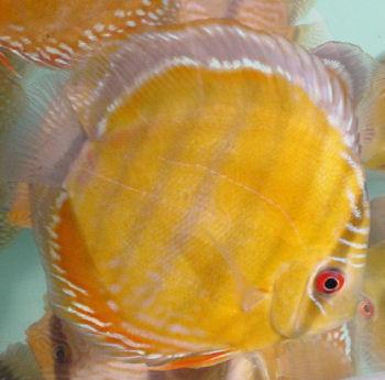Клублюбителейдискусов:ЖелтыйдискусМауи (Maui Yellow)