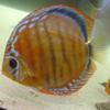 Дискусы фото : дискус коричневый фото (brown discus fish photo)