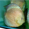 Дискусы фото :дискус леопард снейк скинфото (leopard snakeskin discus fish photo)