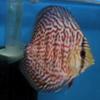 Дискусы фото :дискус мозаичный леопардфото (mozaic leopard discus fish photo)