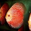 Дискусы фото : дискус красный тигр фото (red tiger discus fish photo)